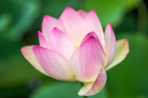 Lotus by Geoff Livingston