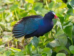animal, nature, fauna, rallidae, beak, bird, wildlife,