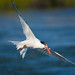 Tern with Fish by Dream Source Studio