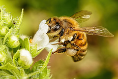 Honeybee in BasiI I
