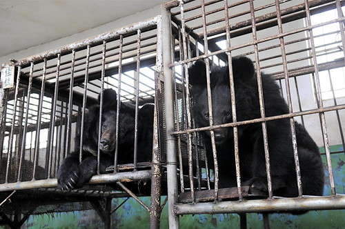 Bear bile farm in Shandong, China 2009 (2)