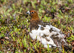 animal(1.0), prairie(1.0), fauna(1.0), ruffed grouse(1.0), beak(1.0), bird(1.0), galliformes(1.0), wildlife(1.0),