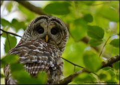 Owls-all wild