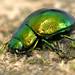 Mint leaf beetle (Chrysolina herbacea) (180/365) by Ian Redding
