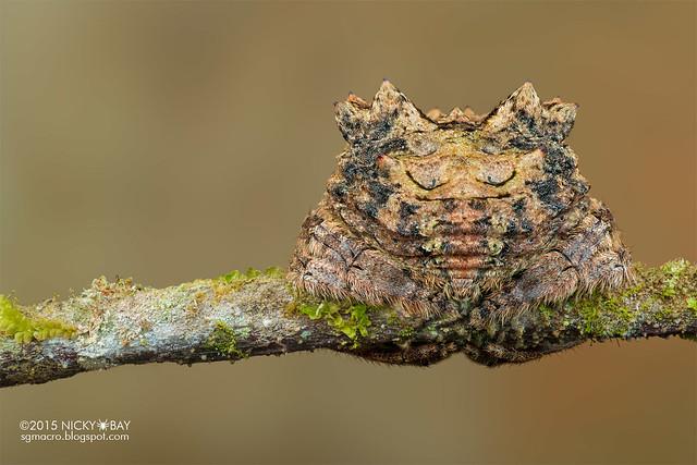 Big-headed bark spider (Caerostris sp.) - DSC_5066