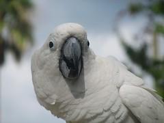 african grey(0.0), cockatoo(1.0), animal(1.0), parrot(1.0), wing(1.0), white(1.0), pet(1.0), sulphur crested cockatoo(1.0), fauna(1.0), close-up(1.0), beak(1.0), bird(1.0), wildlife(1.0),