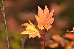 maple leaf sooc