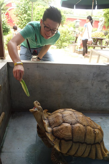 Der feeding the Sulcata tortoise... <i>What huge mouth you have there! </i>