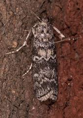 Evergreen Coneworm Moth