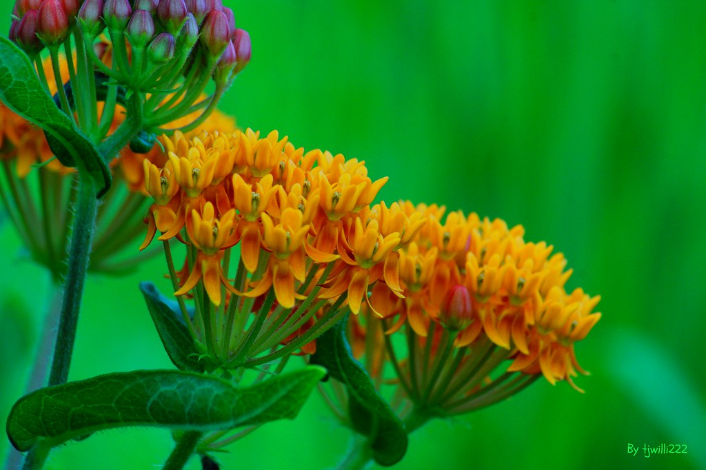 Butterfly-Weed_03026