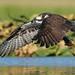 Osprey by ken.helal