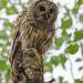 Barred Owl by TimmyGs Photos