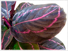 Captivating pink markings of  Calathea roseopicta 'Dottie' (Calathea Dottie, Rose-painted Calathea Dottie, Rose-painted Prayer Plant Dottie), July 8 2015