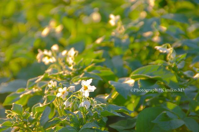 ジャガイモの白い花