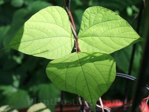 hyacinth bean foliage