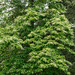 Oxydendrum arboreum (sourwood), in flower by tgpotterfield