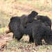 Sloth Bear with cubs (copyright Pradeep Singh)