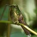 IMG_1345 Buff-tailed Coronet
