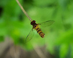 Allograpta (obliqua or exotica), syphid fly, on stem in the front garden, June 2015