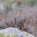 Vocal Grey-Winged Francolin in the West Coast