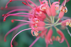 Grevillea flower with ants