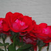 Summer Red Roses
