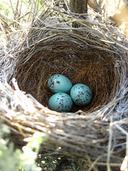 nest, branch, bird nest, egg,