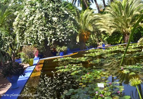 estanque con nenufares y lotos rodeados de color y plantas en el jardin de majorelle en