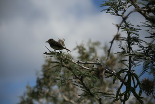 Galapagos Flycatcher which tried to land in Matt's hair, Isla Floreana, Galapagos