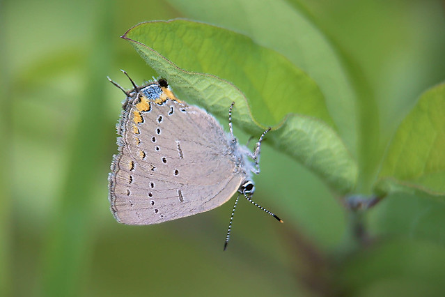 Header of Acadian Hairstreak