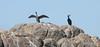 Great Cormorants - Phalacrocorax carbo