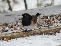 Snowbirds-3925