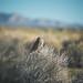 Burrowing Owl by Shutter Theory
