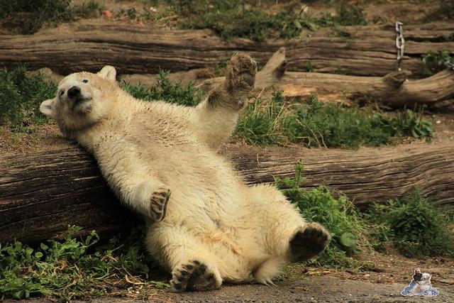 Eisbär Fiete im Zoo Rostock 12.07.2015 0216