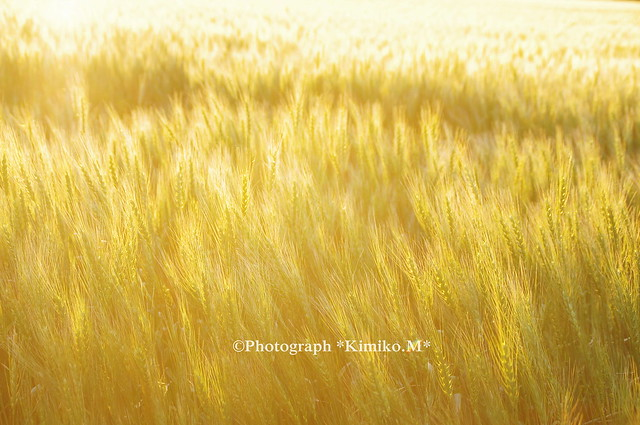 黄金色に光る麦畑4