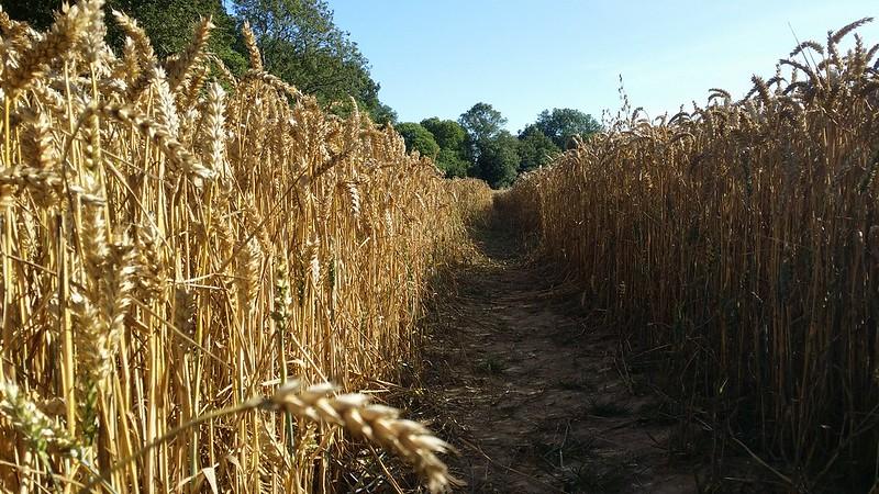 Another cornfield #Wealdway #sh