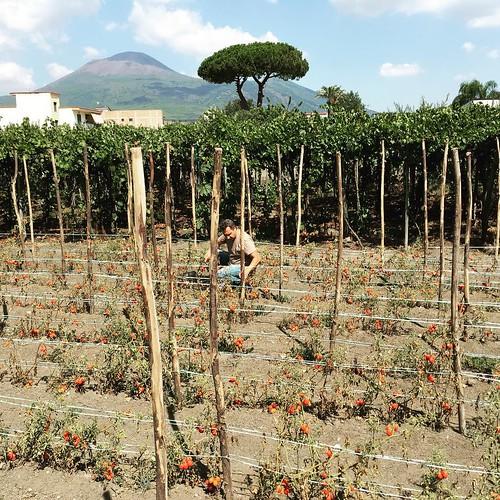 Raccolta dei Pomodorini del Vesuvio