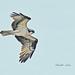 Osprey by cwnlsl