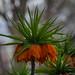 Orange Crown Imperial Lily
