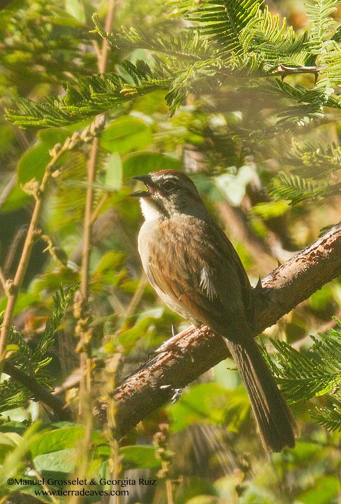 Oaxaca-sparrow5389
