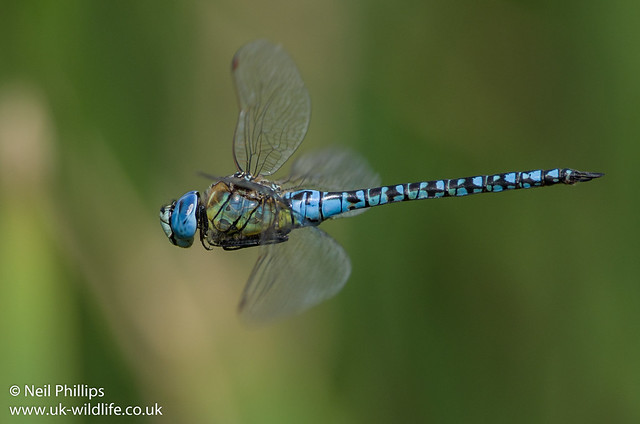 Southern migrant hawker-5