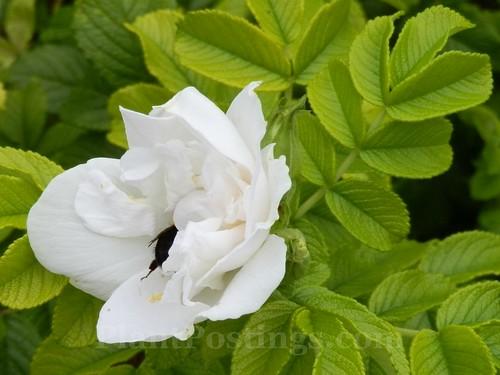 'blanc double de coubert' rugosa