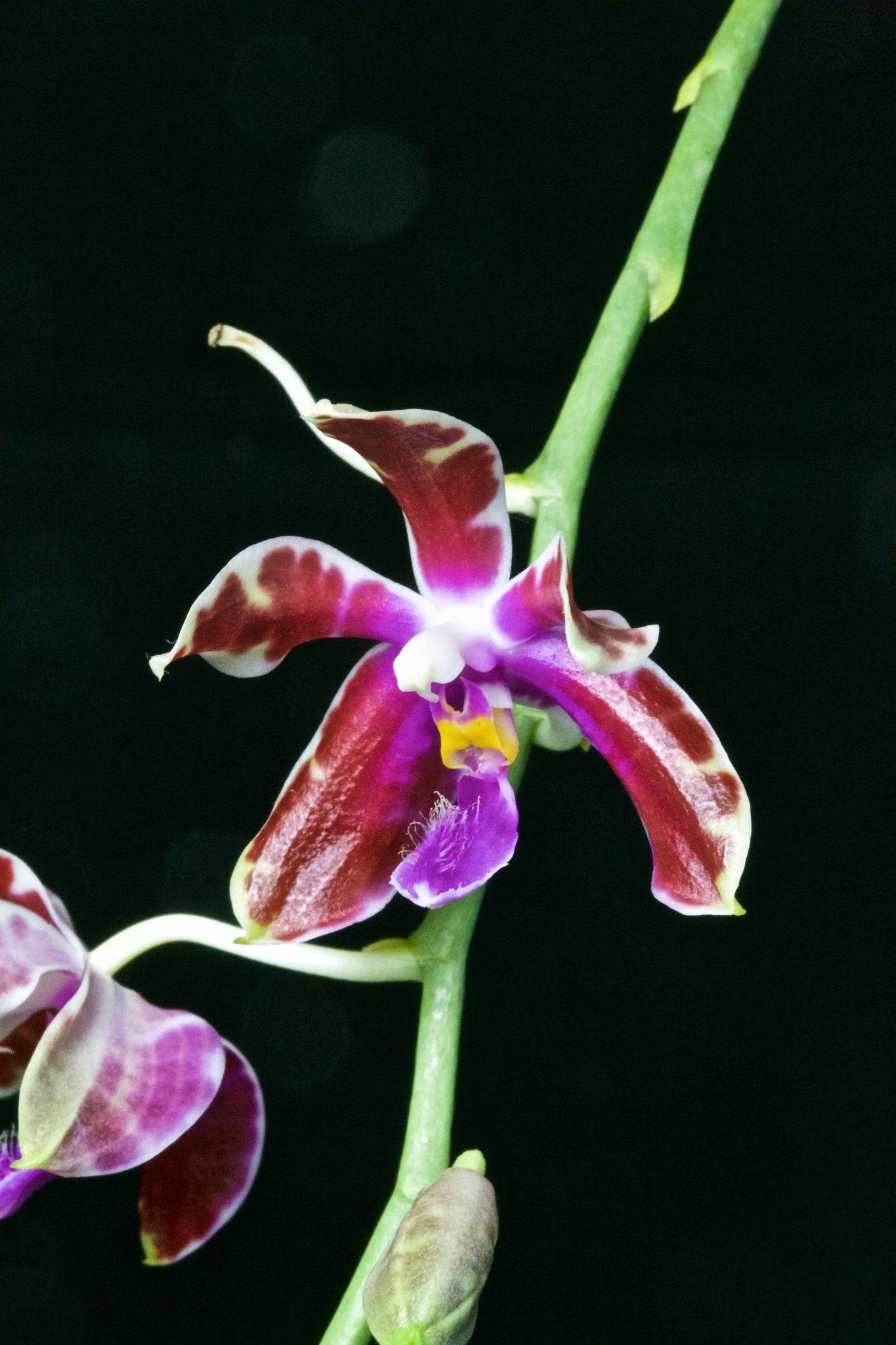 Phalaenopsis mariae x pulchra 20206587608_f13ad3e64d_k