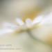 Daisy by Sylvia Slavin ARPS (woodelf)