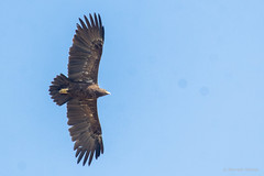 greater-spotted-eagle_28454011246_o