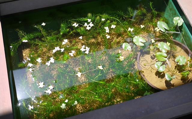 1060x660 水生植物 マツモ アナカリス