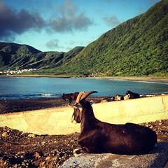 蘭嶼 / Lanyu - 山羊