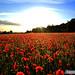 Poppy Rise by Jesse Davies
