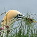 Gannet In The Grass by alison brown 35