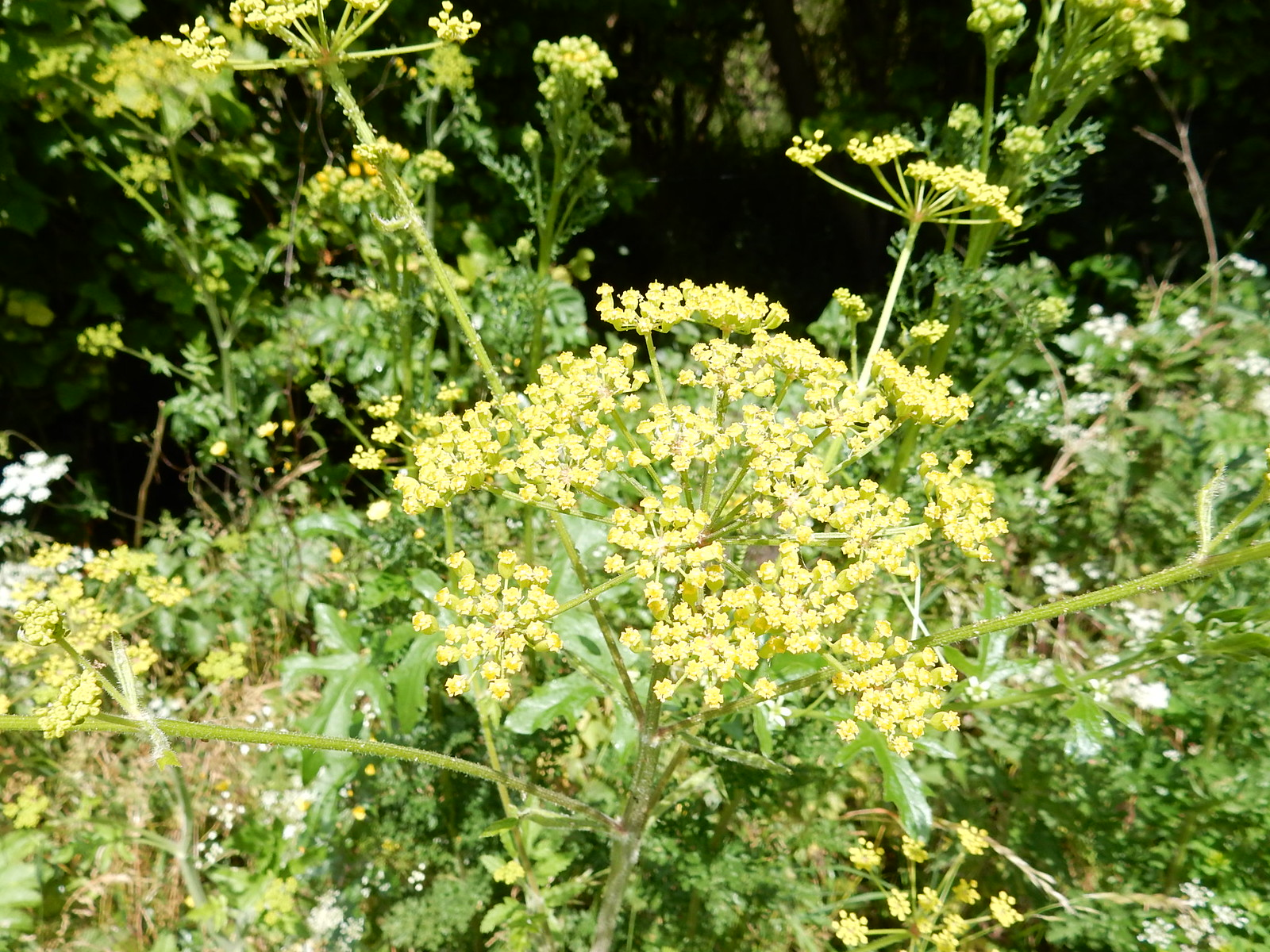 Wild parsnip Hitchin Circular